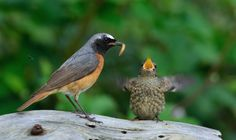 Gepind vanaf vroegevogels.vara.nl - Gekraagde Roodstaart