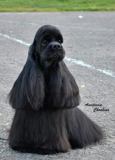 If you have a full coated cocker and A LOT of time on your hands to comb, a show style groom like this is a beautiful option!
