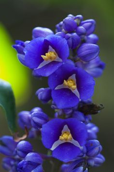 ~~Its the Blues ~ Blue Ginger (Dichorisandra thyrsiflora) at Fairchild Tropical Gardens by secondclaw~~