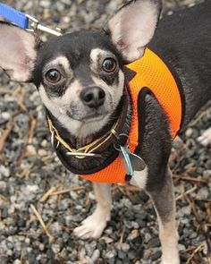 About Opi Hard times caused Opi to begin his search for a new home so he thought he would start at FHS. He is a sweet little man who loves ...