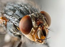 "Flies: Order: Diptera; Class: Insecta; ""two wings""; possess a pair of flight wings on mesothorax and a pair of halteres, derived from hind wings on metathorax"