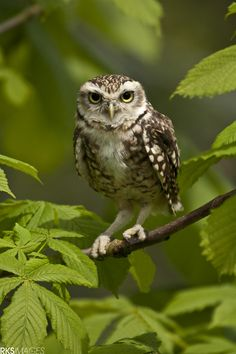 Little Owl (Athene noctua) inhabits temperate areas of Europe, and Asia to Korea and North Africa