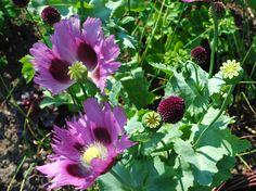Klotlöken 'Allium Sphaerocephalum' och vallmo funkar fint!