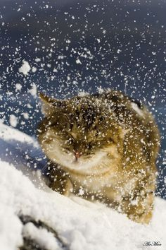 Snow covered Cat