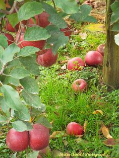 Allie Pelletier's neglectful, abusive father left her an apple orchard when he died. Why did he do that?  From The Apple Orchard in the anthology You're Still The One.