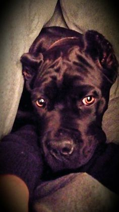 this picture is posted in FB About Time Cane Corso Italiano, some lovely pictures there.