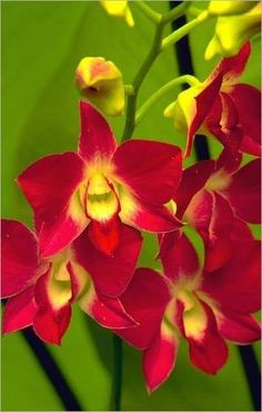 extremely rare orchids, plants flowers and name Red Orchids, Types Of Orchids, Orchids Garden, Orchid Plants, Exotic Plants, Exotic Flowers, Amazing Flowers, Colorful Flowers, Beautiful Flowers