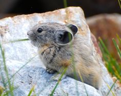Cute pika photo for Wildlife Wednesday! Share the best photo that you've taken of California wildlife on our wall today and our favorite will win a year's subscription to either Ranger Rick or National Wildlife magazine. https://www.facebook.com/NWFCalifornia