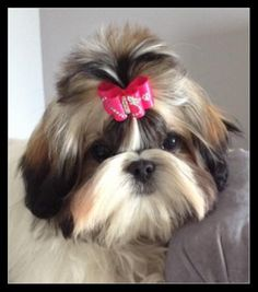 "Choden's Never Say Never ""Nadia"" is modeling an InBetween size dog bow called Butterfly in Flight in hot pink. Nadia is 5 months old."