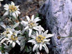 Alpine Flowers, Rock Garden Plants, Cool Plants, Flora, Beautiful Places, Succulents, White Colors, Dire, Homeland