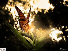 https://flic.kr/p/ALbMtE   Light Monarch !!!   All rights reserved © Alberto J. Espiñeira Francés. Registered work. Do not use this image on any media without my explicit permission. Yes, my photo has signature, watermark and registration stamp. I know, I have set intentionally