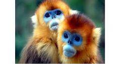 Risultati immagini per scimmia blu
