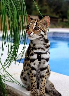 ocelot cat 3 The Exotic Jungle Looks and Wild Ocelot cat