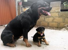 Baby Rottweiler wants to play with his parents