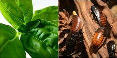 Las 3 mejores plantas para que las cucarachas no visiten nuestros hogares NUNCA