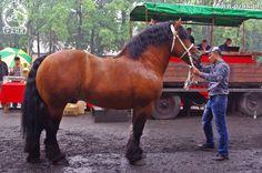 Polish Coldblood - stallion Jolen