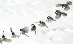 Fay - This amazing photo presents a landing birds in the snow by sequential method. The movements of bird are clear and consecutive, this bird jumps to the ground using its wings to slow the descent and control the balance of body angles and tilts. This photo is fresh and vivid, we can also see the bird's outspread claw.