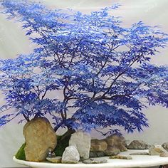 Houseplants That Filter the Air We Breathe Blue Maple Seeds Maple Seeds Bonsai Tree Plants Potted Garden Japanese Maple Seeds 10 Pieces Lot Shopswell Mini Plantas, Plantas Indoor, Bonsai Garden, Garden Pots, Potted Garden, Ikebana, Plantas Bonsai, Pot Plante, Miniature Trees