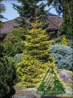 Picea orientalis 'Firefly' is an amazing new introduction from Iseli Nursery which originated at a seedling of P.o. 'Skylands'.