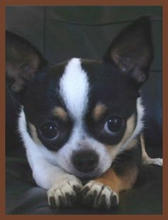 Look at the plan of mischief in your eyes! Chihuahua