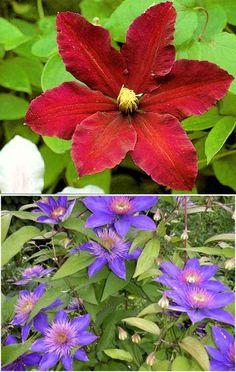 КЛЕМАТИС: СПОСОБЫ ОМОЛОЖЕНИЯ КУСТА | Самоцветик | Во саду ли в огороде ) | Постила