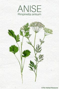 Anise Herb (Pimpinella anisum) - Benefits and Uses