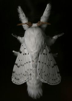 Flannel moth - the cute and venomous fluffy moth