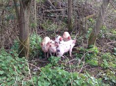The Bells Pigs