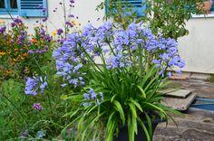 Quand et comment diviser une agapanthe en pot? - Blog Promesse de fleurs Container Gardening, Gardening Tips, Blue Garden, Multiplication, Permaculture, Horticulture, Trees To Plant, Diy And Crafts, Nature