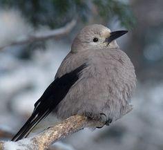 ハイイロホシガラス (灰色星鴉)  Clark's Nutcracker, Clark's Crow, Woodpecker Crow (Nucifraga columbiana)