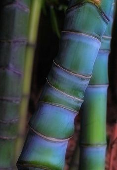 Bamboo ...natural beauty of color