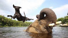 Burbujas, el elefante africano y Bella, el labrador negro