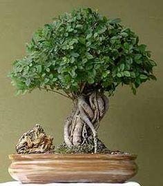 Como cuidar adequadamente de um bonsai, um bonsai de Atenção Básica