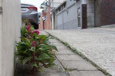 효목 1동 어느 골목 어귀. 누가 심은건지.. 알아서 자란건지.. 인도블록 사이 사이로 예쁘게 핀 꽃들.