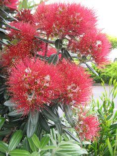 Pōhutukawa / New Zealand Christmas Tree [Metrosideros excelsa; Family: Myrtaceae]                        in bloom