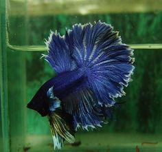 Dark Blue Feather tail OHM male +++ - Ended: Tue Jun 12 2012 New Blue, Blue Green, Dark Blue, Cool Fish, Beta Fish, Siamese Fighting Fish, Halfmoon Betta, Blue Things, Little Fish