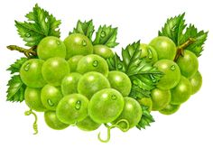 Grapes Green Group 12 Grapes, Green Grapes, Botanical Art, Botanical Illustration, Veggie Images, Dream Catcher Vector, Fruit Painting, Beautiful Fruits, Food Drawing