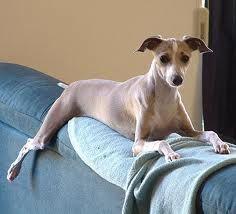 Italian Greyhound Miniature Cute | www.pixshark.com ...