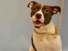 SAFE 7-20-2015 --- Manhattan Center SUKIE – A1043414  FEMALE, BROWN / WHITE, AM PIT BULL TER MIX, 2 yrs STRAY – STRAY WAIT, NO HOLD Reason STRAY Intake condition EXAM REQ Intake Date 07/09/2015