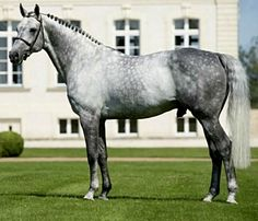 Hanoverian sport horse stallion, Levistan.