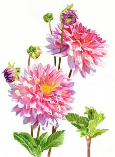 This is a watercolor illustration of two colorful pink dahlia blossoms with buds on a white background. Watercolor And Ink, Watercolor Flowers, Watercolor Paintings, Watercolors, Watercolor Ideas, Dalia Flower, Iris Painting, Nature Sketch, Floral Wall Art