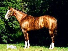 Dunbar's Gold is a very rare Brindle color. While common in dog breeds, brindle is rarely seen in horses. The genetic cause for this pattern is not completely understood. Dunbars Gold is a registered American Quarter Horse stallion. All The Pretty Horses, Beautiful Horses, Animals Beautiful, Rare Horses, Horses And Dogs, Horse Breeds, Dog Breeds, Brindle Horse, Horse Markings