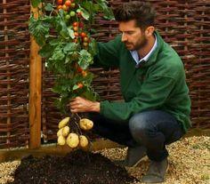 ¡Híbrido entre tomate y papa! Mira el vídeo: http://www.sal.pr/?p=88163