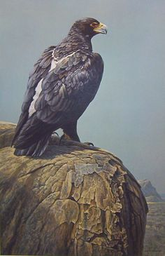 Robert Bateman - Black Eagle - Complete colection of art, limited editions, prints, posters and custom framing on sale now at Prints. Wildlife Paintings, Nature Paintings, Wildlife Art, Animal Paintings, Art Paintings, Nocturne, Eagle Painting, Black Eagle, Nature Artists