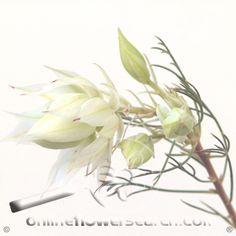 Blushing Bride - Cut Flower Wholesale, Inc. -- leading wholesale florist in Atlanta, GA U.S.A.