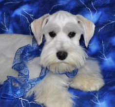 All white schnauzer