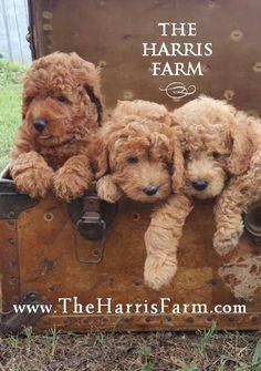Goldendoodles For Sale, Miniature Goldendoodle Puppies, Goldendoodle Puppy For Sale, Golden Doodle Dog, Mini Doodle, Golden Doodles, Baby Puppies, Puppies For Sale, Dogs And Puppies
