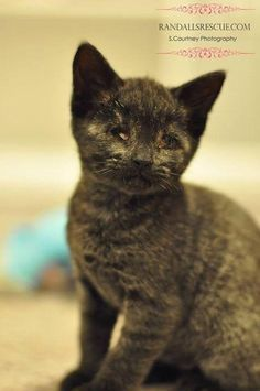 Panther is an adoptable Domestic Short Hair searching for a forever family near Mount Laurel, NJ. Use Petfinder to find adoptable pets in your area.