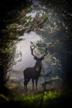 Deer Obsession...