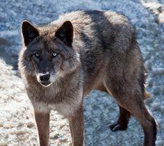 Tundra Wolf | North American native Canis lupus tundrarum (Alaskan Tundra Wolf).